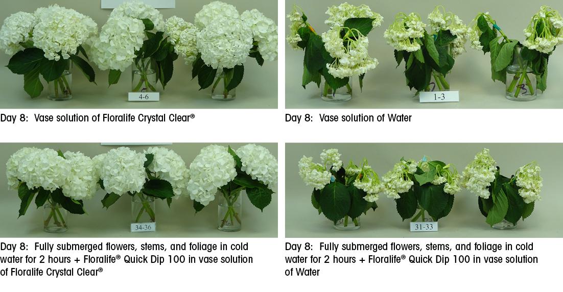 Long Lasting Hydration For Hydrangeas